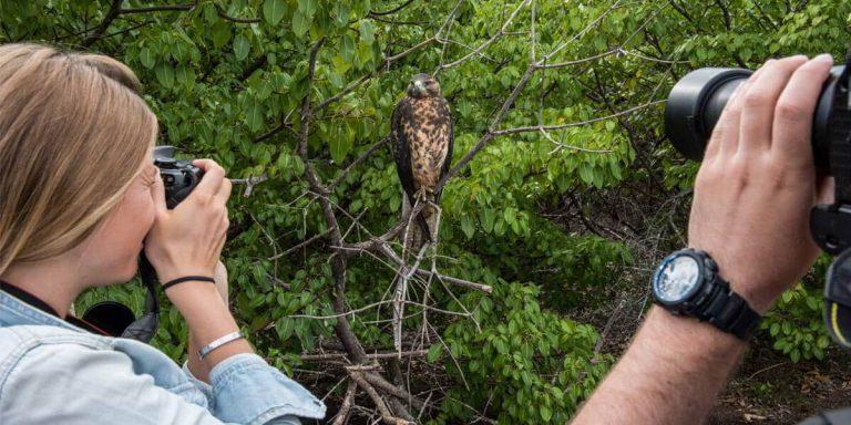 Galapagos Hawk, photographers taking a photo