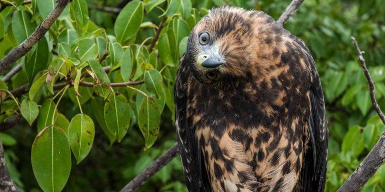 Galapagos Hawk, fearless animal