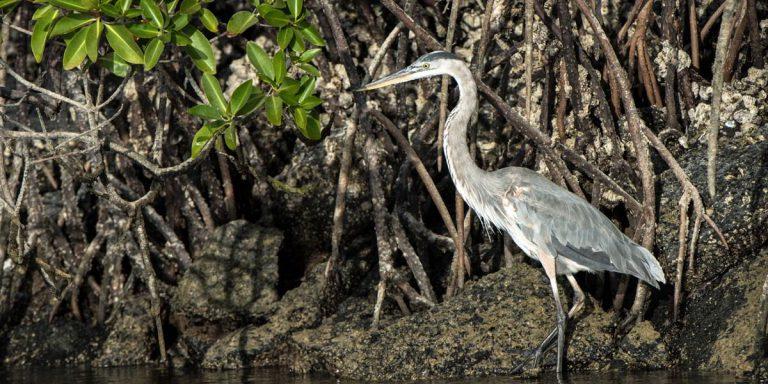 Galapagos Great Blue Heron wading