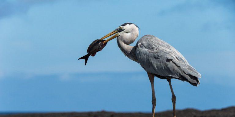 Galapagos Great Blue Heron (Ardea herodias) hunting a fish
