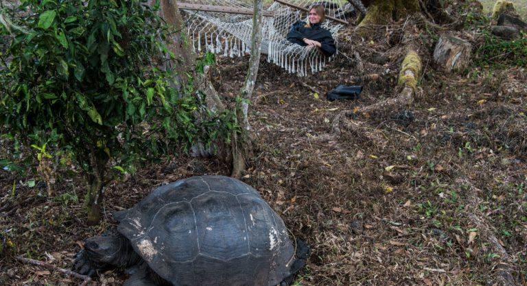Highlands - Santa Cruz in Galapagos with tourist resting in a hammock next to a giant tortoise