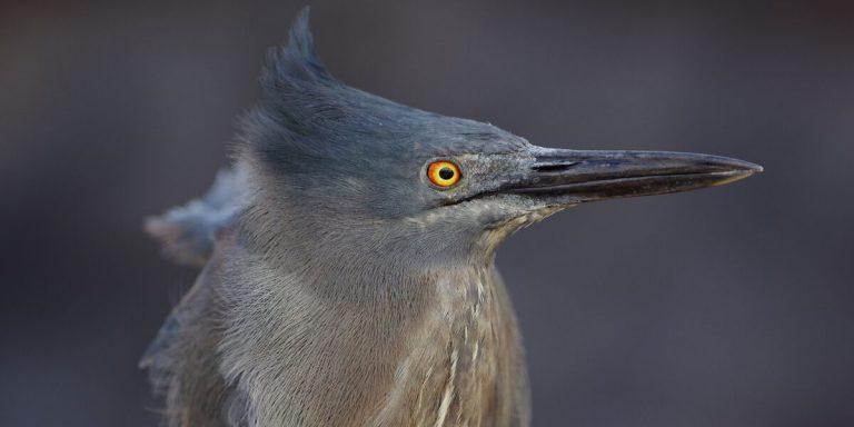 Lava Heron in Galapagos