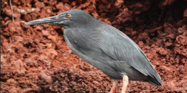 Lava Heron in Rabida Island in Galapagos