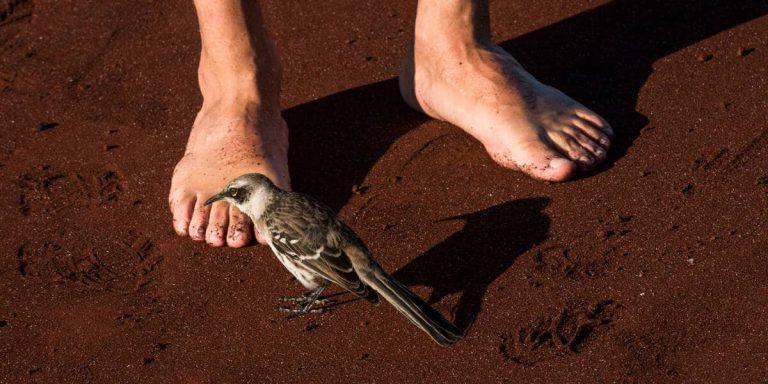 Fearless Galapagos Mockingbird in Rabida