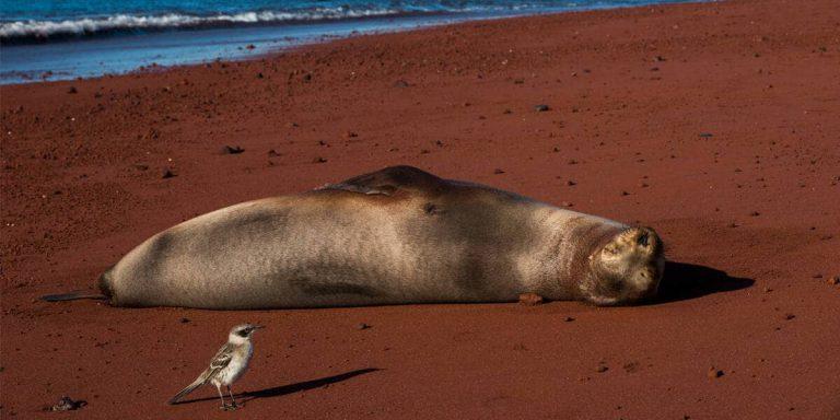 Galapagos Mockingbird with a sea lion symbiosis