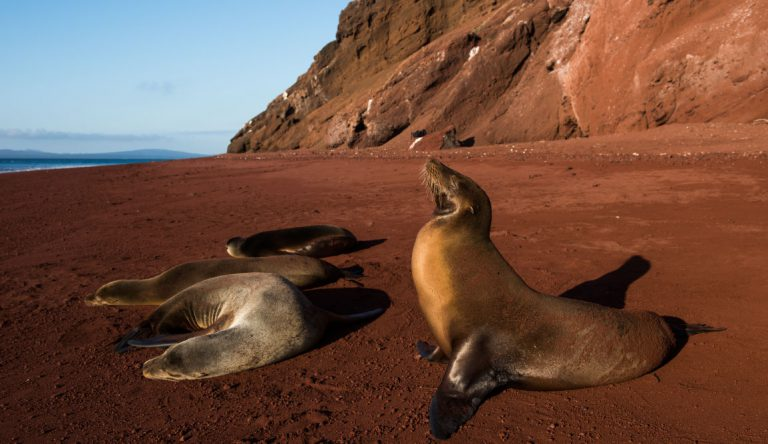 Rabida in Galapagos Islands, view of the red sand with sea lions sunbathing