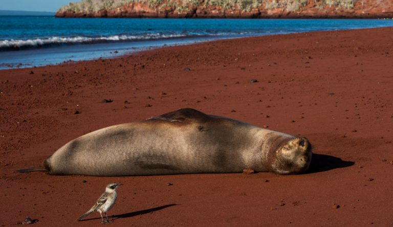 Rabida in Galapagos Islands, view of the red sand with a sea lion sunbathing