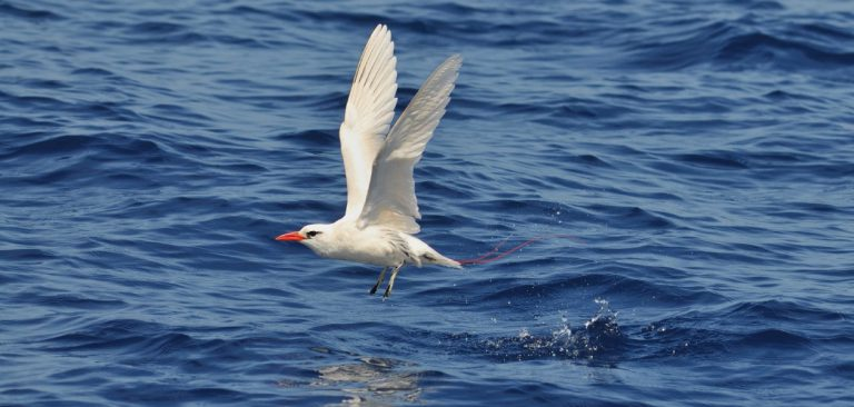 Red-billed Tropicbird, coming out of the water flying in Galapagos Islands