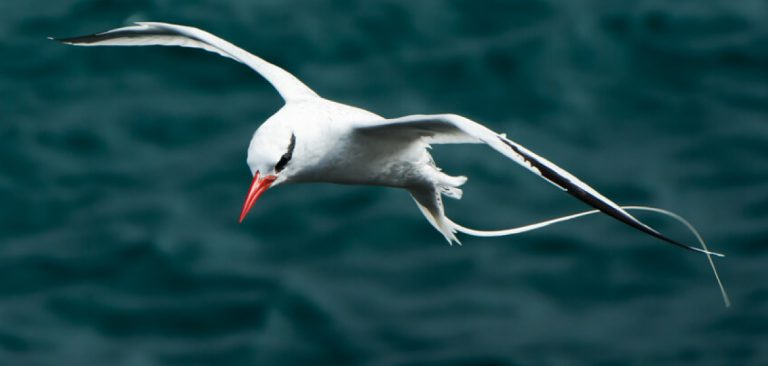 Red-billed Tropicbird, watching down as it flies in Galapagos Islands
