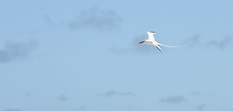 Red-billed Tropicbird, Flying high in the sky on Galapagos - Ecuador