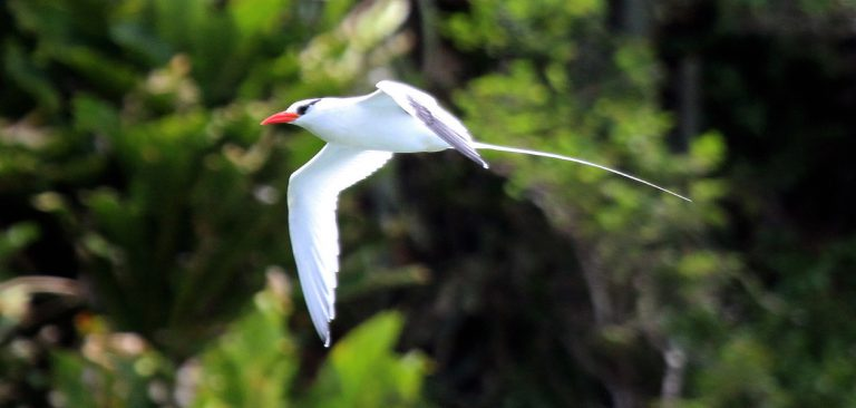 Red-billed Tropicbird flying over the trees in Galapagos Islands