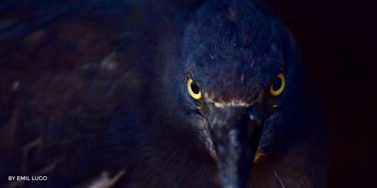 Lava Heron Galapagos Islands