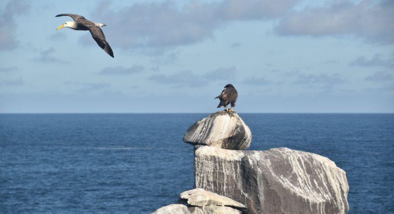 Suarez Point - Española in Galapagos Island view of a Galapagos Falcon and a albatros