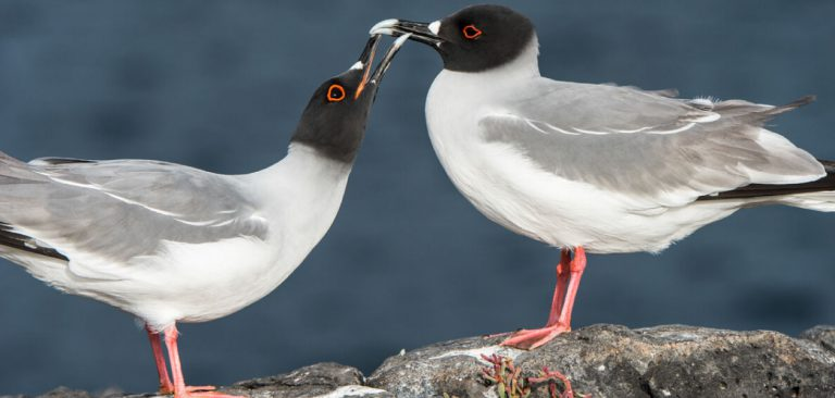 couple Swallow-tailed Gull in Galapagos Islands, over the rocks