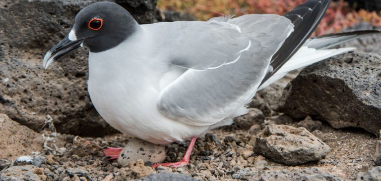 Swallow-tailed Gull brooding in the middle of the rocks in Galapagos