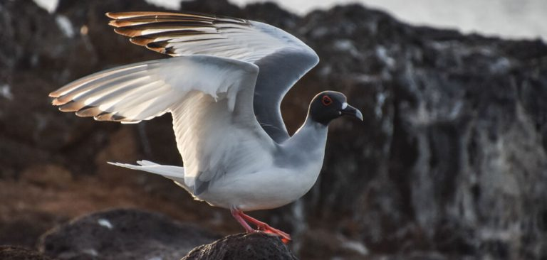 Swallow-tailed Gull with wings spread on a rock in Galapagos Islands