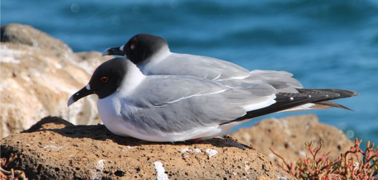couple Swallow-tailed Gull in Galapagos Islands, mutual preening