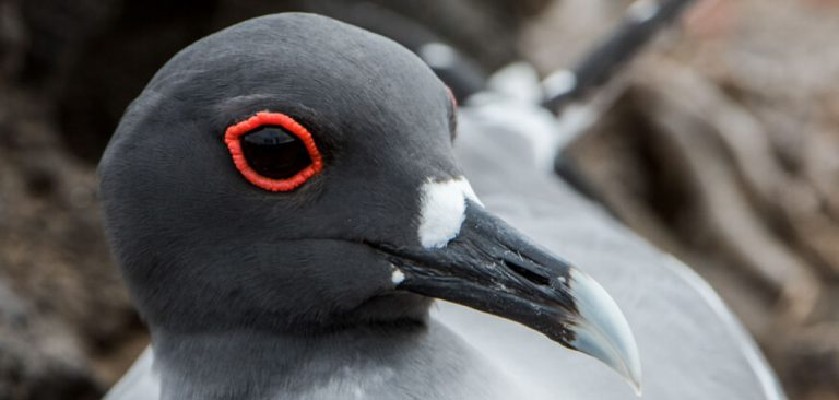 Galapagos Islands, Swallow-tailed Gull eye close up