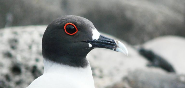 Profile Swallow-tailed Gull close up of the eye in Galapagos Islands,