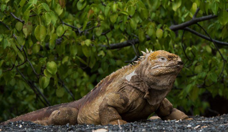 Urbina Bay - Isabela in the Galapagos view of a Land iguana