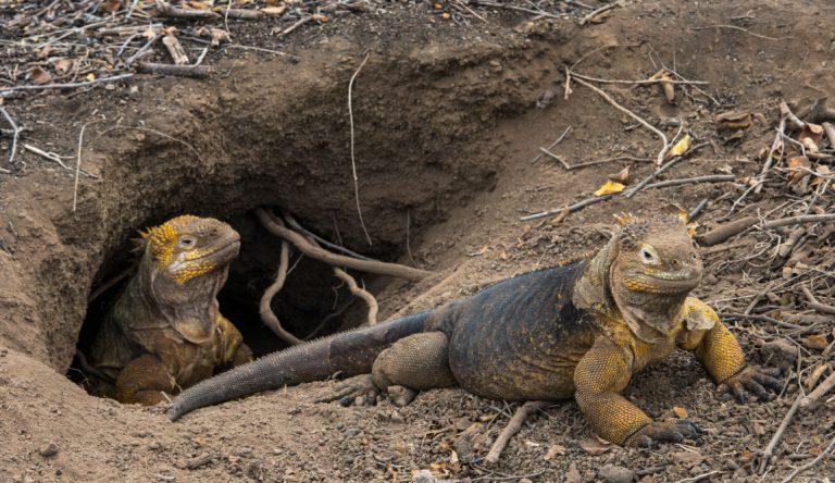 Urbina Bay - Isabela in the Galapagos view of a land iguanas