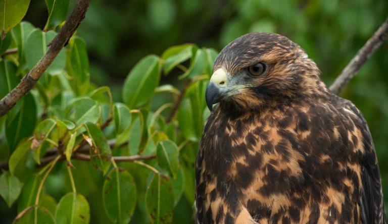 Urbina Bay - Isabela in the Galapagos view of a Galapagos Hawk