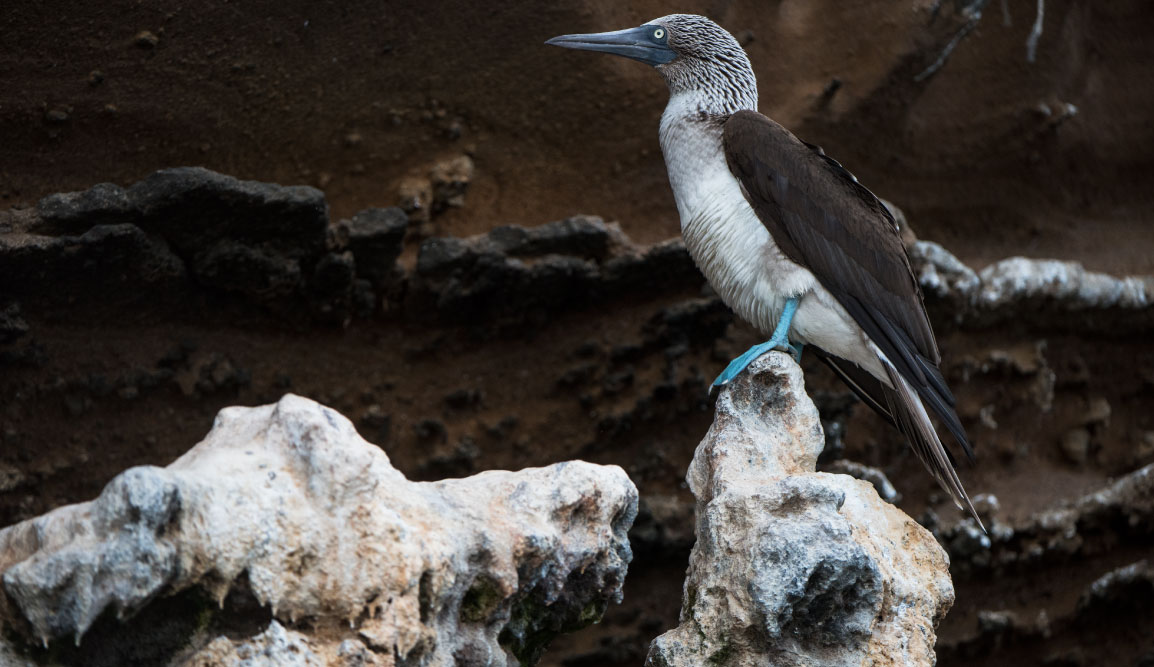 Vicente Roca Point in Isabella Island, view of a blue footed boobie