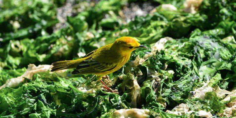 Galalpagos Yellow Warbler