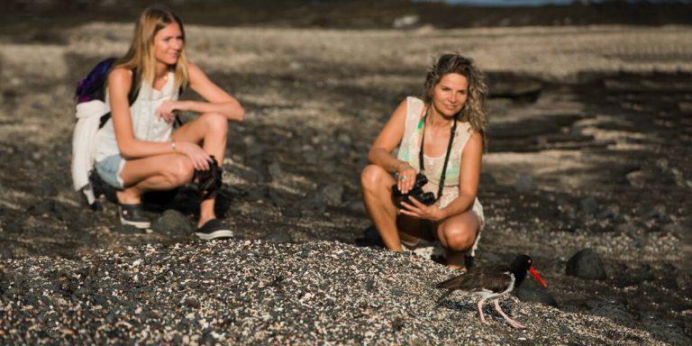 Fearless American Oystercatcher, Galapagos Islands - Ecuador