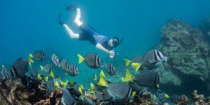 Yellowtailed Surgeonfish Galapagos - South America