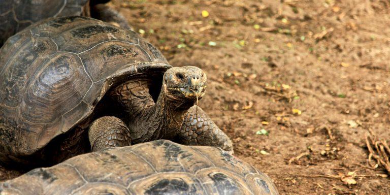 Endemic Galapagos Giant Tortoise. South America - Ecuador