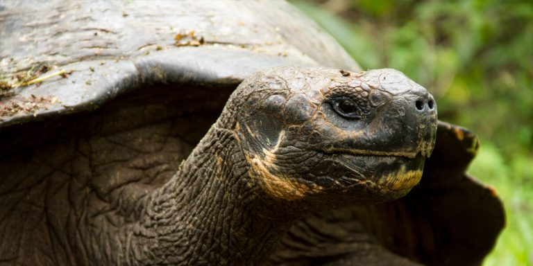 Galapagos Giant Tortoise (geochelone nigrita) El Chato Ranch Santa Cruz