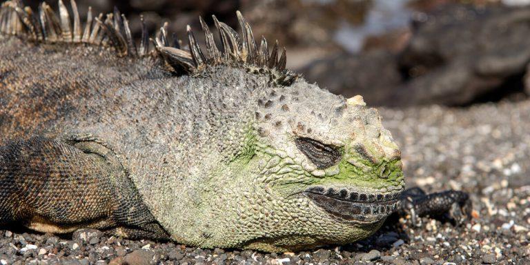 Marine Iguana in Española Island (Gardner Bay and Punta Suarez) Galapagos - Ecuador