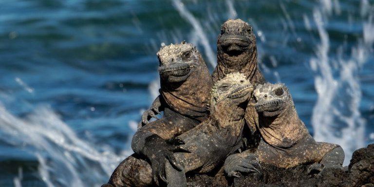 Marine Iguanas in Galapagos Island Pacific Ocean