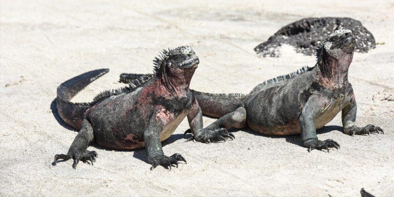 Marine Iguana Galapagos Islands - Ecuador