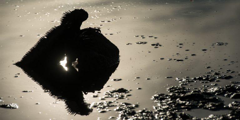 silhouette of marine iguana Galapagos Island - Ecuador