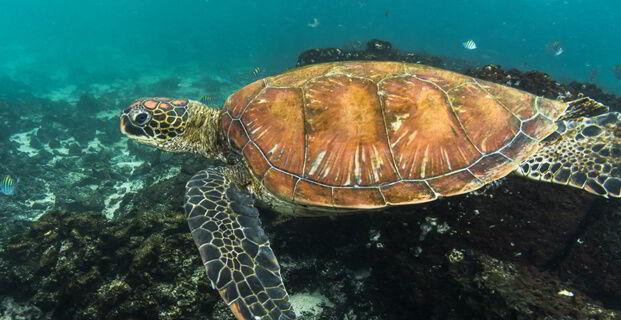 Galapagos Green Turtle (Chelonia mydas agassisi) South America - Pacific Ocean - Ecuador