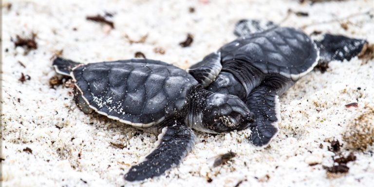 Sea Turtle babies resting in the sand