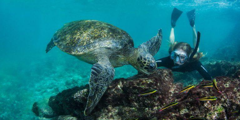 Galapagos Green Turtle (Chelonia mydas agassisi), Endemic Subspecies Galapagos