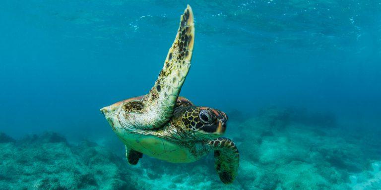 Galapagos Green Turtle - Ecuador