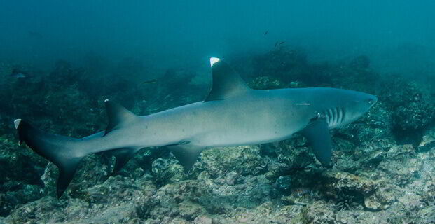 Shark Galapagos Islands - Ecuador
