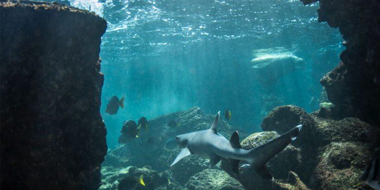 Reef Shark Galapagos Islands