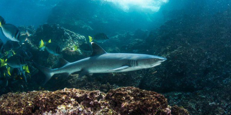 Shark Galapagos Islands - Pacific Ocean South America
