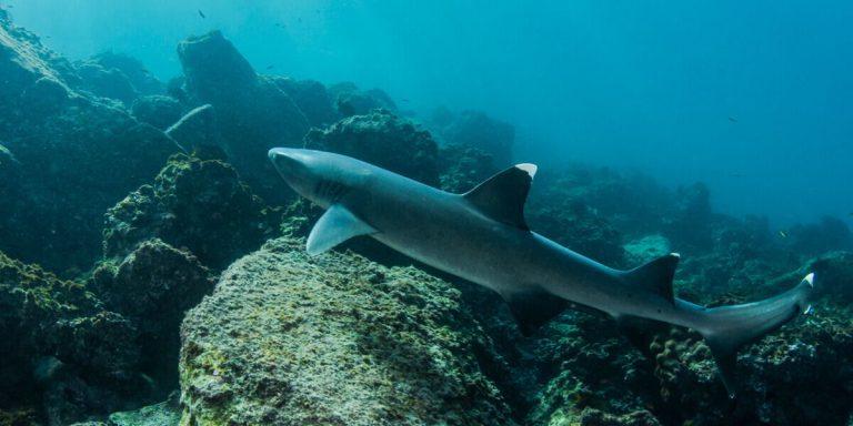 Shark at the Galapagos Islands