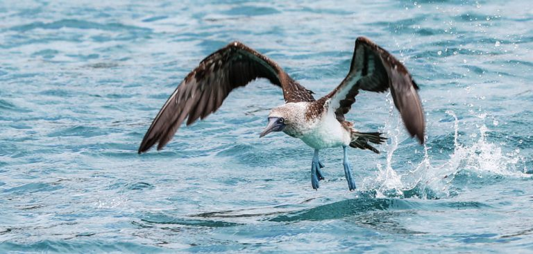 Galapagos Blue Footed Booby flying in the Pacific Ocean