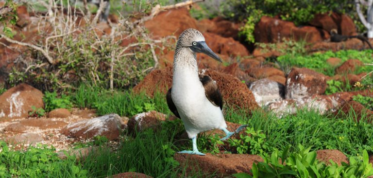 Galapagos Blue Footed Booby, couple doing sky-pointing mating dance