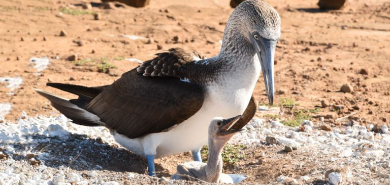 Galapagos - Ecuador Blue Footed Booby with her baby