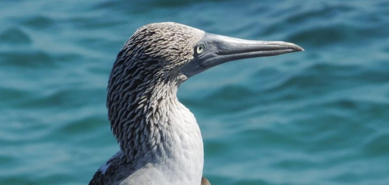 Galapagos Blue Footed Booby in the Pacific Ocean