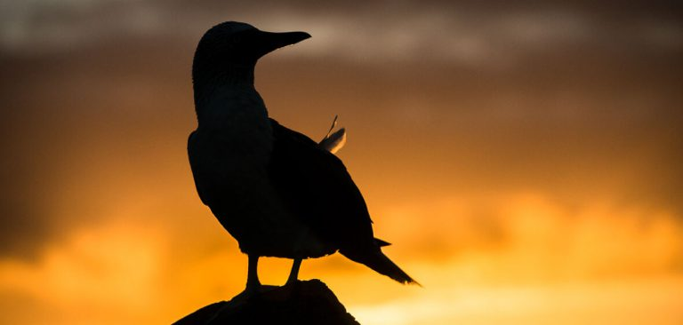 Galapagos Blue Footed Booby silhouette