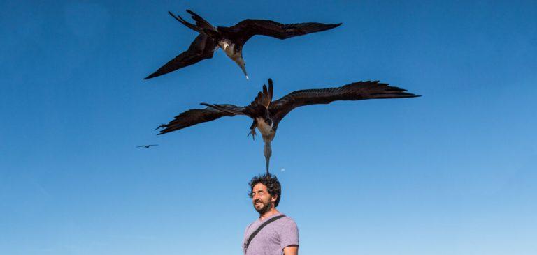 Frigatebirds in North Seymur Galapagos - Ecuador